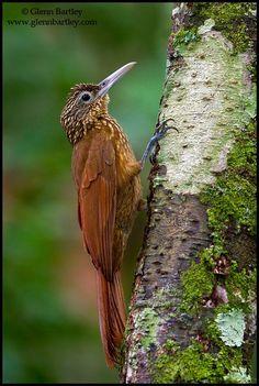 Buff-throated Woodcreeper (Xiphorhynchus guttatus) by Glenn Bartley on 500px