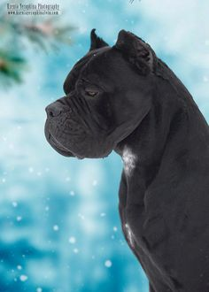 All About The Mastiff Puppies Grooming Chien Cane Corso, Cane Corso Mastiff, Cane Corso Dog, Mastiff Breeds, Mastiff Dogs, Giant Dog Breeds, Giant Dogs, Dogs And Kids, Dogs And Puppies