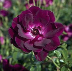Floribunda Rose 'Burgundy Iceberg' (Just love the color of this rose!)