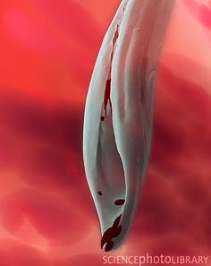 Aedes aegypti mosquito stylet, SEM:  The female mosquito feeds by using her modified proboscis to pierce her host's skin and feed on its blood. The stylet is the part of the proboscis used to pierce the skin,