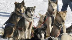 The Quebec government has acknowledged the negative effects on Inuit society of a mass slaughter of sled dogs in the province& far north in the and Four Legged, Quebec, Sled Dogs, Husky, Canada, Racing, Gallery, Cute, Animals