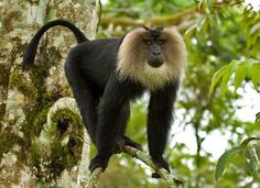 Lion-Tailed Macaque : Endangered Primate of Western Ghats