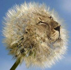 """We put the LION in dandelion.... Why do they get called """"weeds"""". I love them!"""