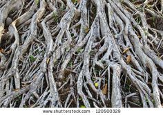 Tree Roots Stock Photos, Tree Roots Stock Photography, Tree Roots Stock Images : Shutterstock.com