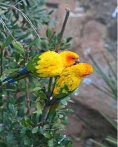 Sun Conures!  I had one of these.  Very loud bird!