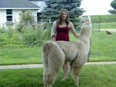 How to Show a Llama- Part Alpacas, Number Two, Camels, Activities, Animals, Animaux, Animal, Animales, Animais