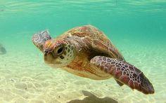 Ambientalistas realizan campaña para preservar tortuga marina