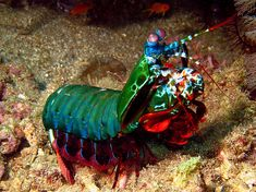 This is the Mantis Shrimp which has the most complicated visual system of any animal by a factor of 2. Humans have 3 color receptors Mantis Shrimp have 16 color receptors.