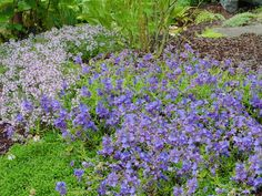 Veronica rupestris Heavenly Blue Harebell Speedwell 'Another great Veronica to have in your garden! Soft, deep green serrated edged foliage crawl along the ground and give way to sapphire blue flowers that rise up over the foliage. This is a great plant for borders, retaining walls or even spilling over the edge of containers. Keep the drainage sharp and you will have a new favorite in your garden!  Good around roses.