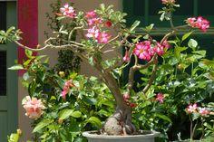 Rose du d�sert ou Adenium obesum : conseils de culture et d'entretien pour faire fleurir cette plante grasse.
