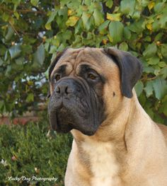 Bullmastiff #dogs #mastiffs #puppy