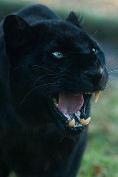 ~< Black Panther >~