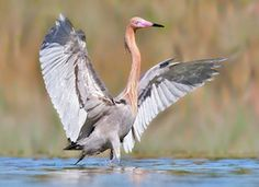 Reddish Egret comes in a dark and a white form. It is a very active forager, often seen running, jumping, and spinning in its pursuit of fish.