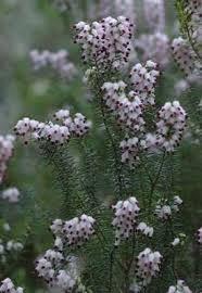 erica pyxidiflora