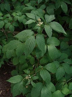 27 Medicinal Plants Worth Your Garden Space (pictured - Siberian Ginseng)
