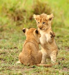 I love cute cats and kittens 'cuz they bring me happiness. Baby Animals Pictures, Animals And Pets, Funny Animals, Cute Animals, Cute Tiger Cubs, Cute Tigers, Beautiful Cats, Animals Beautiful, Beautiful Creatures