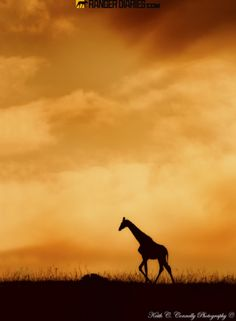 Giraffe silhouette by guide Keith Connelly, photographed at Kariega, Eastern Cape, South Africa