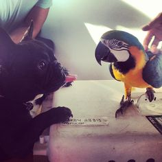 That parrot is about to perform tongue surgery...