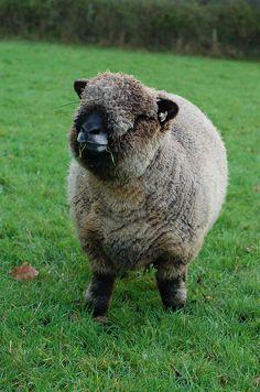 Maggie, one of my Ryeland ewes.