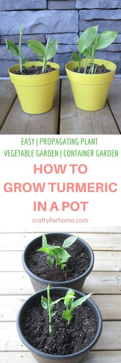 The easiest and simple way how to grow turmeric in a pot at home garden and get more fresh turmeric for free. Grow turmeric in the container if you have limited space for the garden #propagatingplant #indoorgarden #containergarden #turmeric #growturmeric for full tutorial on craftyforhome.com