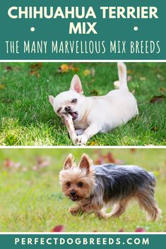 The Chihuahua Terrier Mix has many layers to its personality, which will make you love them even more. Even though it's difficult to predict anything about this mix, keep reading to find out more about these adorable mixed breeds.  #chihuahuaterriermix #chihuahuaterriermixedbreeds #chihuahuamix