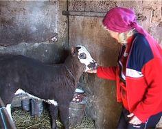 """Sute de crescători de animale din judeţul Vrancea trebuie să restituie subvenţiile primite pentru anul 2010. Judecătorii de la Înalta Curte de Casaţie şi Justiţie au admis recursul declarat de Agenţia de Plăţi şi Intervenţie pentru Agricultură Vrancea şi au casat sentinţa Curţii de Apel Galaţi. Dosarul în care sunt citaţi crescătorii de animale """"incriminaţi"""" a fost mutat la Tribunalul Vrancea. Animals, Animales, Animaux, Animal, Animais"""