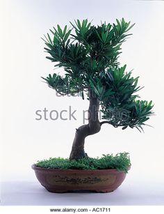Podocarpus Bonsai, Planting Flowers, Miniatures, Garden, Plants, Image, Garten, Lawn And Garden, Gardens