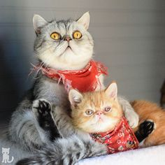 Sure, we'll cuddle for 2 seconds if you distract us with treats.  Happy Caturday!  #exoticshorthair #cat #cute #instacat #flatface  #cats #catsagram  #animallovers #kitten #meow #pet #mreggs #catlover #petsagram #catstagram #exoticsofinstagram #smushface #katze
