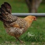 Sicilian Buttercups hen -- next year!