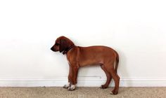 Watch Sophia the Rhodesian Ridgeback Grow: A Time Lapse from 2 months to 3 years old