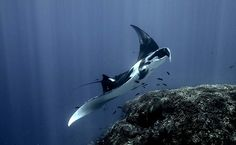 'Manta Ray in Halmahera Sea, Indonesia' This must be worth learning to dive for