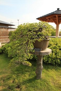 "五葉松 白糸の滝 Goyo-matsu ""Shiraito-no-taki"" (Japanese Five Needle Pine) - 盆栽美術館 - bonsai museum 