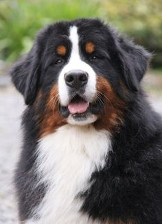 SchAlpenspirits Ocean's Apart (Imp Can) Otto   Anahera Bernese Mountain Dogs