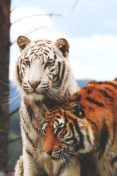 The white tiger is a pigmentation variant of the Bengal tiger (Panthera tigris tigris). Such a tiger has the black stripes typical of the Bengal tiger, but carries a white or near-white coat. Wild Animal Wallpaper, Tiger Wallpaper, Tiger Pictures, Cute Animal Pictures, Funny Pictures, Majestic Animals, Animals Beautiful, Cute Baby Animals, Animals And Pets