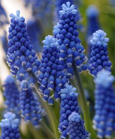 Aucheri Blue Magic Muscari is a Hyacinth with very distinctive blue flowers. Largest bulb online and best quality. Amazing Flowers, Love Flowers, Beautiful Roses, Bulb Flowers, Flowers Nature, Blue Spring Flowers, Bulbous Plants, Flower Identification, Bulbs For Sale