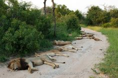Photos and pictures of: Pride of Lion lying on the road (Panthero leo), MalaMala Game Reserve, Greater Kruger National Park, South Africa - The Africa Image Library World Lion Day, Lion Pride, Kinds Of Cats, Wild Creatures, Kruger National Park, Game Reserve, African Safari, Big Cats, Lions