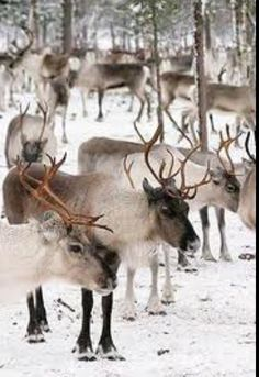 Reindeer! One of my favorite animals, this stems from my love of the Prancer movie as a child.