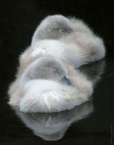 Baby swans, cygnets