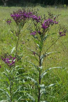 Ironweed...it  grows in fields and pastures in Tennessee...I always called it Iron John as a kid...I love the deep purple colors.
