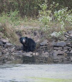 Wildlife and Wildlife Photography: Wildlife and Wildlife Photography - Sloth Bear , K...