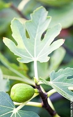 How to grow: figs