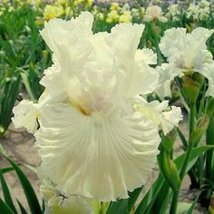 Chantilly Bride Tall Bearded Iris  32""