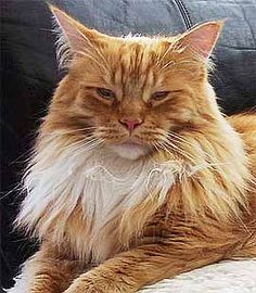 Cute red tabby Main Coon cat!  He looks like my bad boy Guinness.