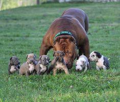 Пёс по кличке Халк - один из самых больших питбулей в мире, и его имя подходит ему как ничто другое