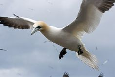 Image result for gannets