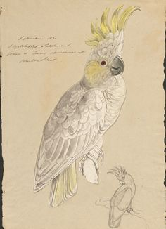 Edward Lear Sketches of Parrots Relating to 'Illustrations of the Family of Psittacidae, or Parrots' (1832), ca. 1830 (MS Typ 55.9). Houghton Library, Harvard University.