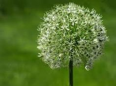 Wild Allium Flower.