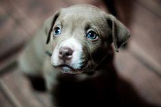 Weimaraner puppy with blue eyes! so cute!