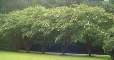 White crepe myrtle Landscape privacy fence - Google Search