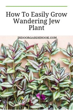 Wandering Jew Plant - How To Easily Grow It Indoors By putting it on the right, well-lighted spot and to water it in the right way, the wandering jew plant will flourish. See this easy guide and learn how to grow and take care of a wandering Jew plant. Easy House Plants, Easy Care Plants, House Plants Decor, Plant Care, Wondering Jew Plant, Garden Nook, Veg Garden, Garden Kids, Terrace Garden